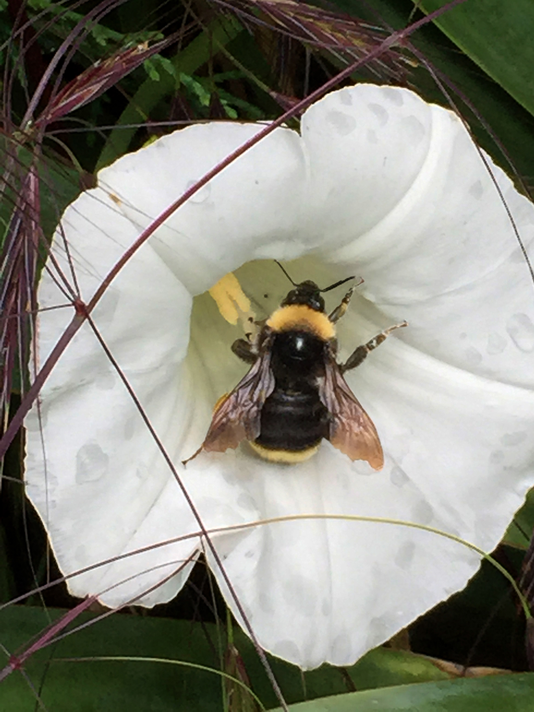 bumblebee_exiting_flower_small