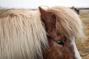 Icelandic horse who could not be bothered
